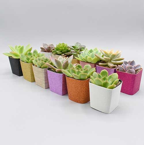 Natural Succulents 56 Assorted 2-inch Pots